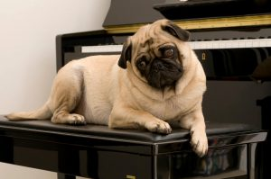 pug laying on a piano bench